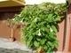Jedovaté durmany a datury chutnají i škůdcům