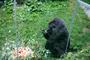 ZOO Zlín: Gorilí samice Judita oslavila 45. narozeniny