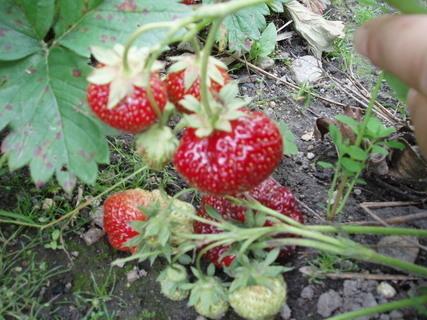 FOTKA - Červen na zahradě – měsíc jahod, třešní a dalších chutných plodů