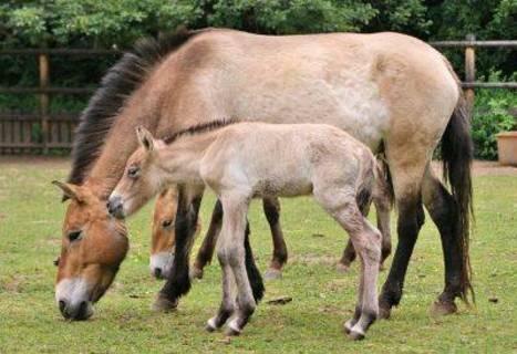 FOTKA - Další přírůstek v chovu erbovního zvířete pražské zoo koně převalského