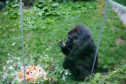 FOTKA - ZOO Zlín: Gorilí samice Judita oslavila 45. narozeniny