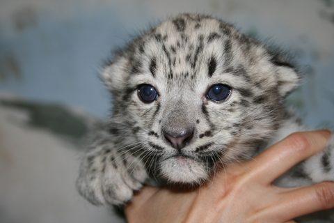 FOTKA - Další skvělý odchov u velkých kočkovitých šelem v ústecké zoo