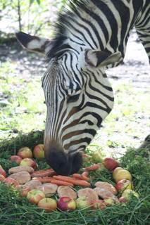 FOTKA - Zebra Blanka z ústecké zoo oslavila kulatiny