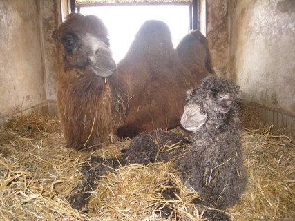FOTKA - ZOO Liberec má samičku velblouda dvouhrbého