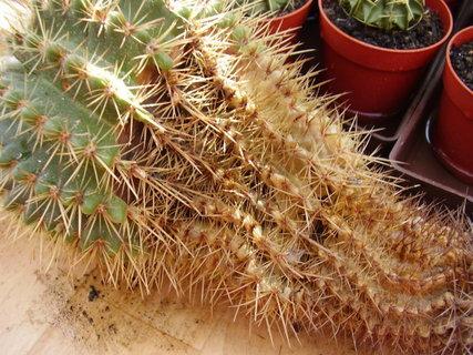 FOTKA - Přesazování, množení a škůdci kaktusů
