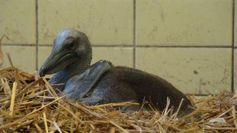 FOTKA - ZOO Liberec má po 9 letech mládě pelikána