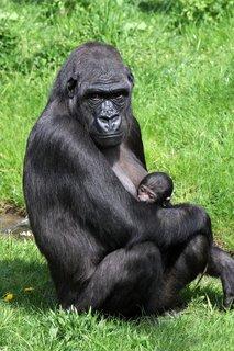 FOTKA - Hledáme jméno pro gorilí mládě