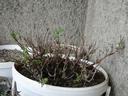 FOTKA - Šalvěj lékařská - moje oblíbená rostlinka