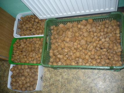 FOTKA - Nepříjemné sbírání ořechů
