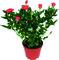 Pěstování růží v nádobách