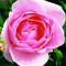 Choroby a škůdci růží