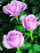 Výživa růží