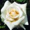 Výsadba růží