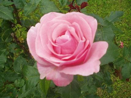 FOTKA - Růže - královna zahrady