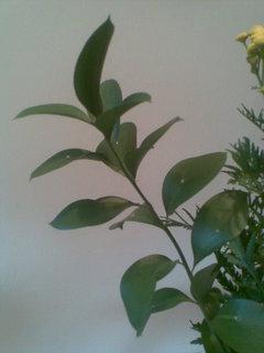 FOTKA - Ruscus - listnatec - keř netradičního vzrůstu