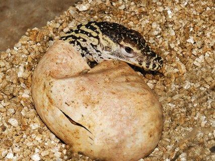 FOTKA - Sledujte, jak se líhnou komodští draci!