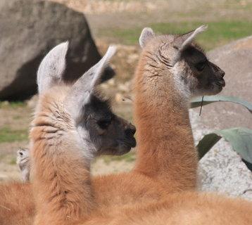 FOTKA - Prázdniny končí v zoo – tentokrát ve znamení lam