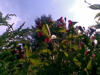FOTKA - Vajgélie bohatokvětá - krásně kvetoucí keř