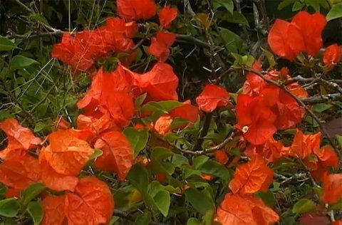 FOTKA - Cestománie - Cookovy ostrovy – Květy Pacifiku