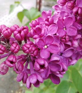 FOTKA - Vyrob si sama: léčivý olejíček z květů šeříku