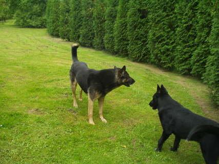 FOTKA - Německý ovčák, skvělý hlídač a ochránce