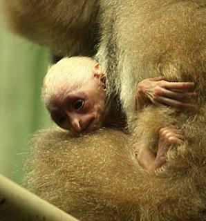 FOTKA - Čerstvé mládě gibona zve na sobotní Planetu opic