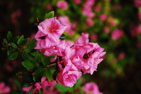 FOTKA - V ostravské ZOO právě rozkvétají rododendrony