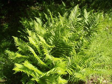 FOTKA - Kapradiny - krásné zelené vějířky