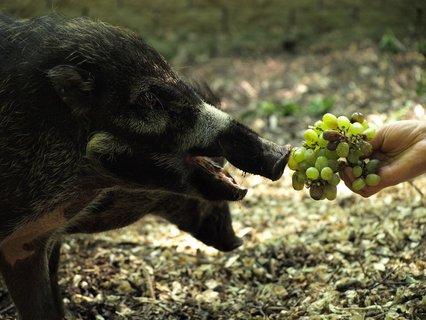 FOTKA - Zoo dovezla prasata visajanská! Chová je jako jediná v ČR!