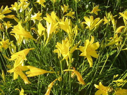 FOTKA - Denivky - nádherné trvalky podobné liliím