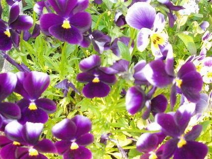 FOTKA - Macešky - sametové květy, které oživí každý záhon