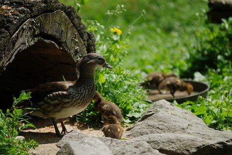 FOTKA - Přijďte se podívat na roztomilá mláďata kachničky mandarinské
