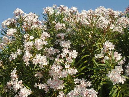 FOTKA - Oleandr - krásný kvetoucí keřík, který má rád slunce