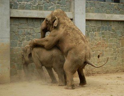 FOTKA - Co bylo příčinou úhynu sloního samečka v Zoo Ostrava?