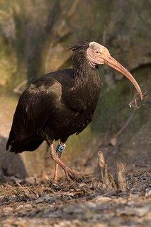 FOTKA - V Zooparku se vylíhlo 11 mláďat vzácných ibisů skalních