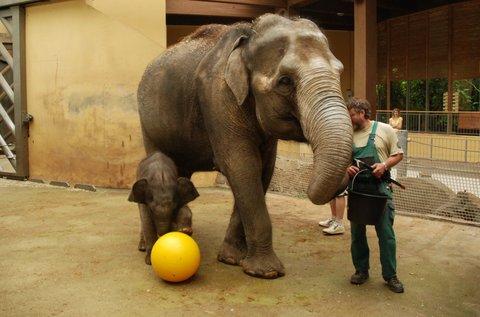FOTKA - Nová hračka pro sloní samičku v Zoo Ostrava