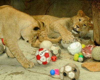 FOTKA - Příběh rodinky v přírodě již vyhynulých berberských lvů