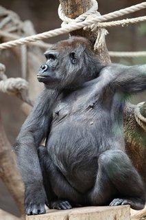 FOTKA - Šestnáctiletá gorilí samice Bikira je březí