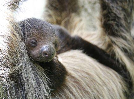 FOTKA - Malý lenochod v zoo Ústí nad Labem