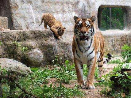 FOTKA - Přivítejte prázdniny s tygřími mláďaty a kmotrem Janem Rosákem