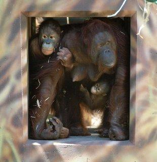FOTKA - V královédvorské ZOO otevřeli kolosální voliéru pro lidoopy