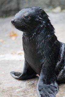 FOTKA - Lachtaní mládě už řádí ve venkovním bazénu