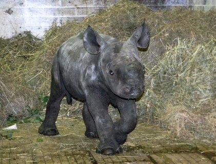 FOTKA - Královédvorská ZOO hlásí další světový úspěch v chovu nosorožců