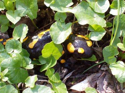 FOTKA - Dole u Kocáby, kuňkaly dvě žáby....