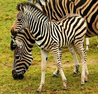 FOTKA - Stádo zeber z olomoucké ZOO se opět rozrostlo