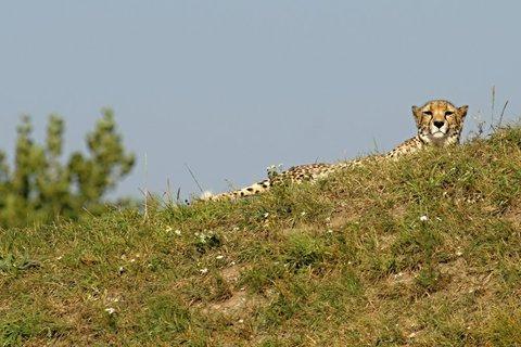 FOTKA - ZOO Praha představí na Nový rok gepardí dvojčata