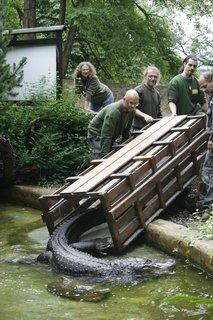FOTKA - Stěhování aligátora Libora v ústecké ZOO