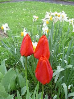 FOTKA - Myslete již dnes na jaro aneb pěstování cibulovin