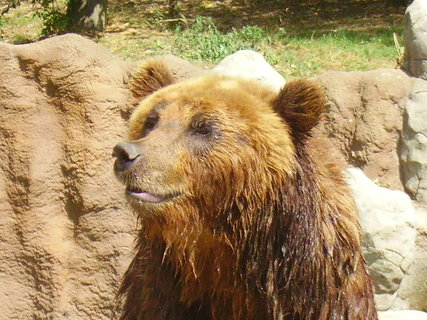 FOTKA - Medvědice Kamčatka s mláďaty