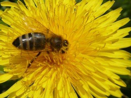 FOTKA - Pampeliškový med - nejoblíbenější recepty